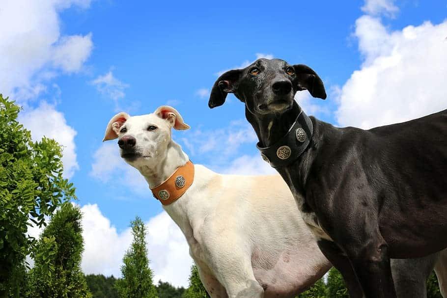 Greyhound cuccioli e adulti foto