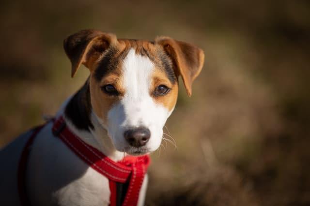 foto Jack Russell Terrier cuccioli e adulti