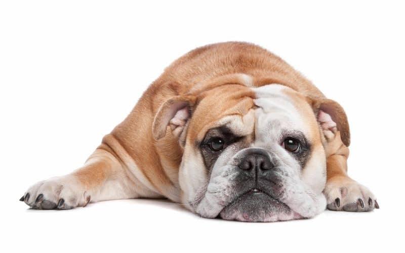 bulldog inglese foto del cane