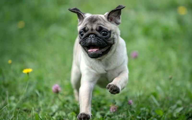 cane carlino foto del cane che corre nell'erba