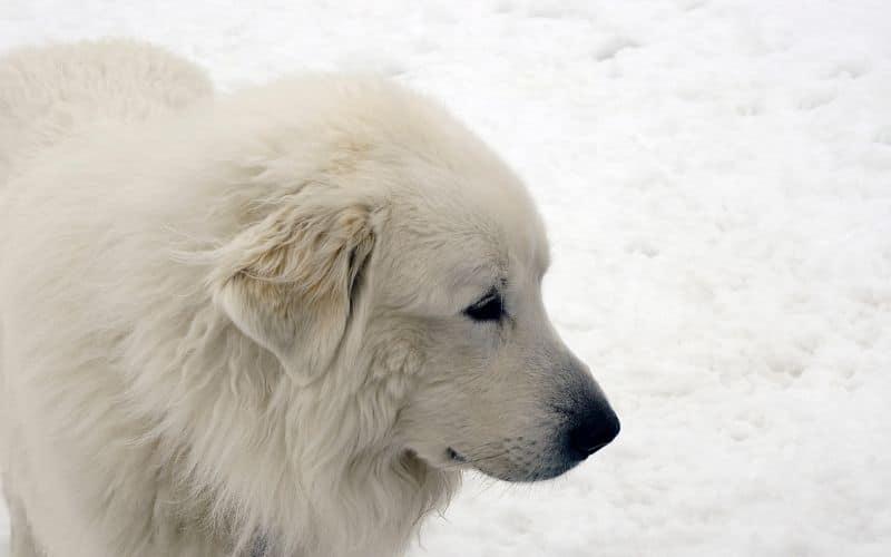 cane dei pirenei da montagna