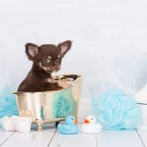 cane chihuahua cucciolo foto