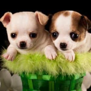 chihuahua 2 cuccioli foto