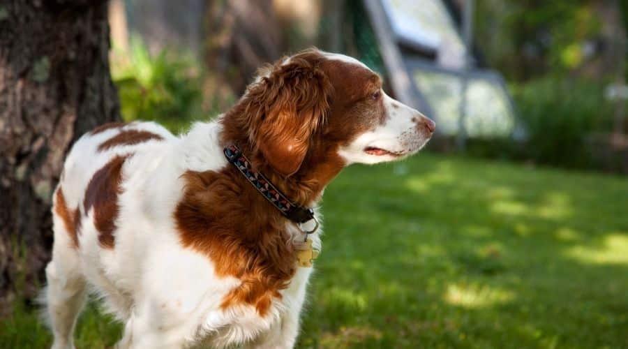 Cane Epagneul Breton foto di cuccioli
