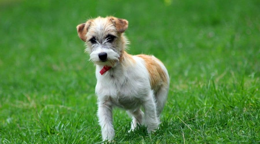 Cane Fox Terrier foto di cuccioli
