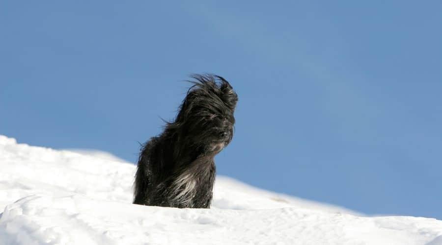 Cane Mastino dei Pirenei foto di cuccioli
