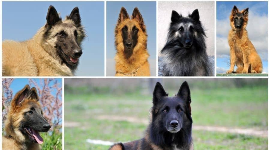 Cane Pastore Belga Tervueren foto di cuccioli