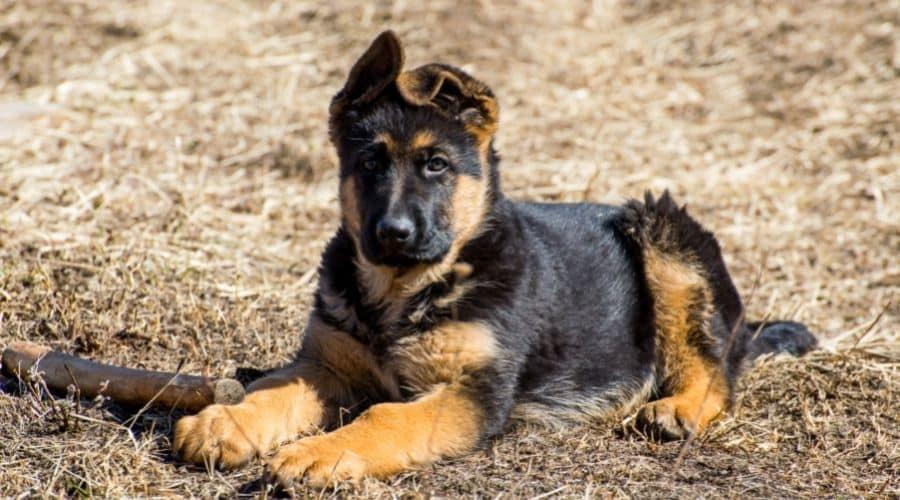 Cane Pastore tedesco foto di cuccioli