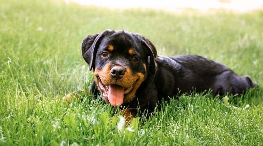 Cane Rottweiler foto di cuccioli