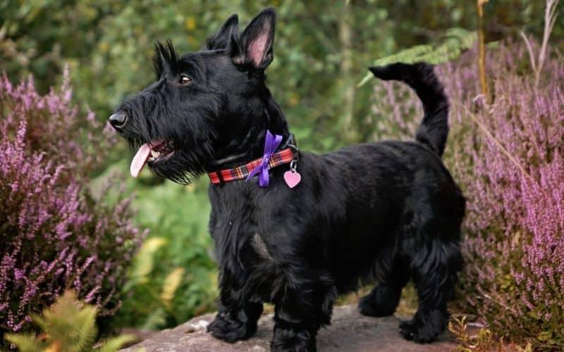 Cane Scottish Terrier foto