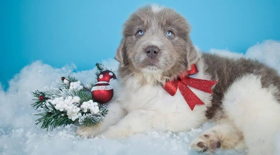 Cane Terranova foto cuccioli