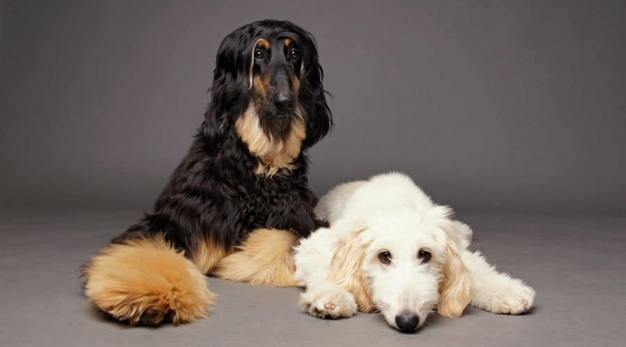 cane Levriero Afgano foto di cuccioli
