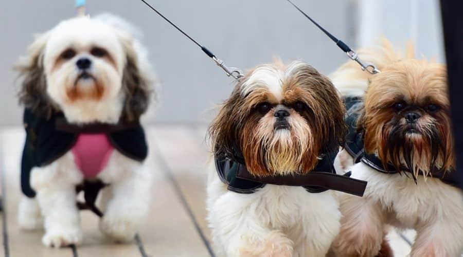 cane Lhasa Apso. foto di cuccioli