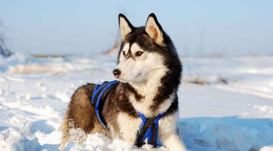 cane Siberian Husky foto