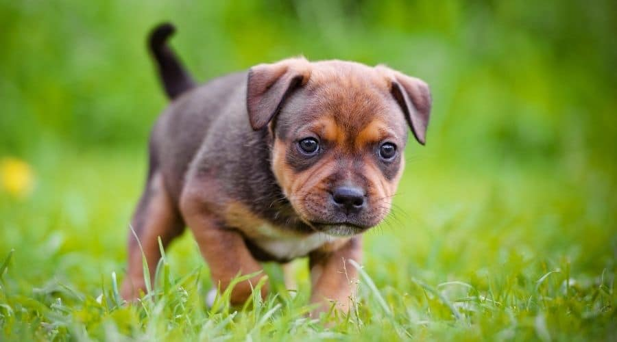 cane Staffordshire Bull Terrier foto cuccioli