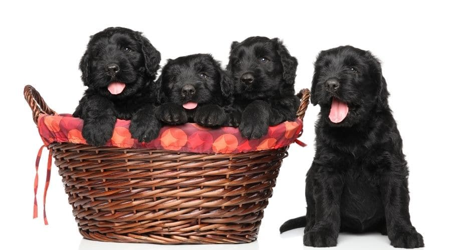 cane Terrier Nero Russo foto cuccioli