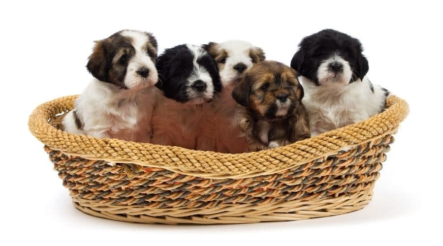 cane Terrier Tibetano foto cuccioli