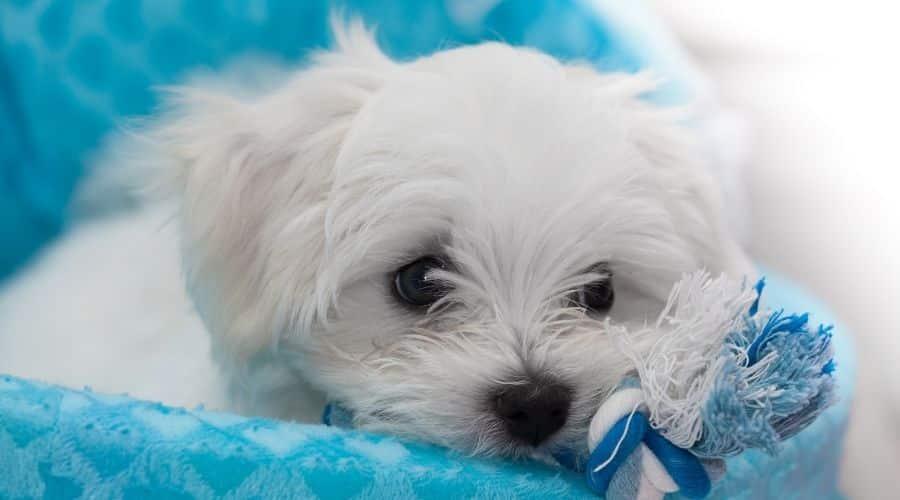 cane maltese foto di cuccioli