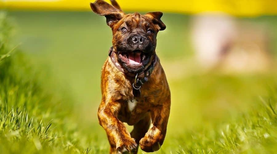 cane mastiff foto di cuccioli